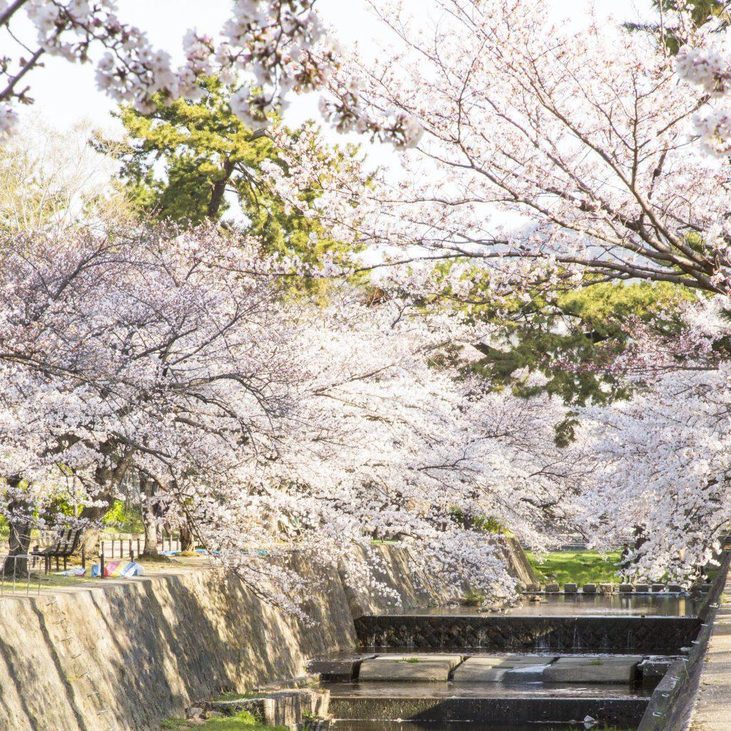 夙川 - 桜2