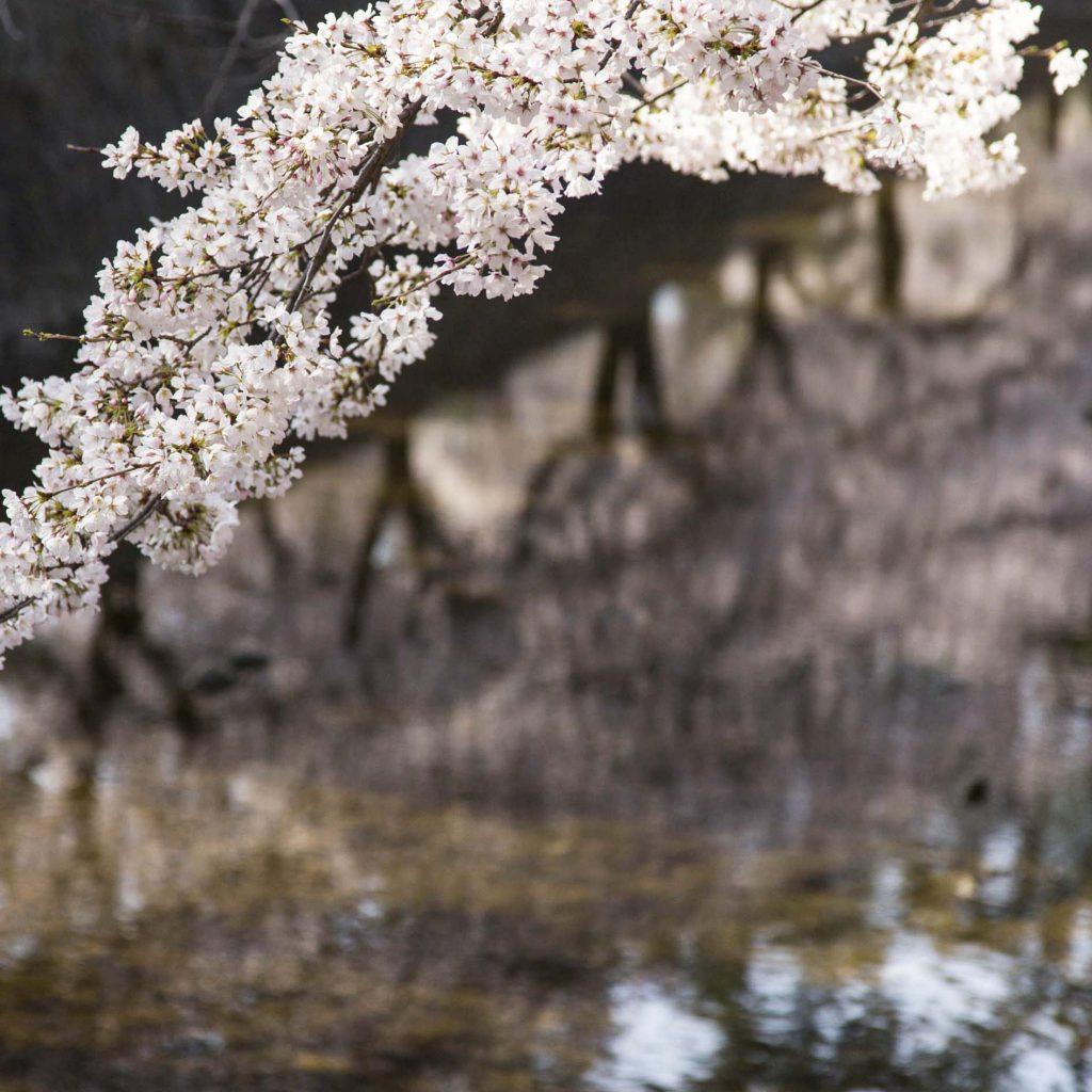 夙川 - 桜1